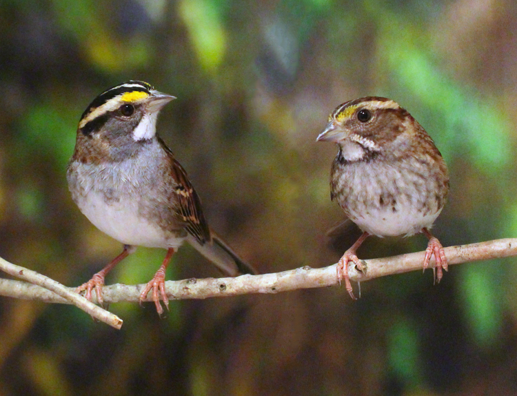 Two birds stand on a branch looking at each other