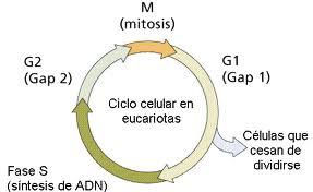 Reproduccion asexual mitosis
