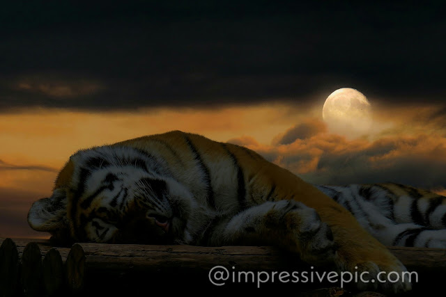 Sleeping lion impressivepic download for WhatsApp