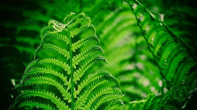 Papel de Parede Planta Samambaia