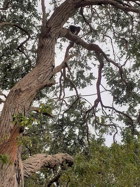 my cat Otto up a eucalyptus tree