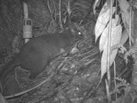 Ditemukan Spesies Baru Kangguru Kecil