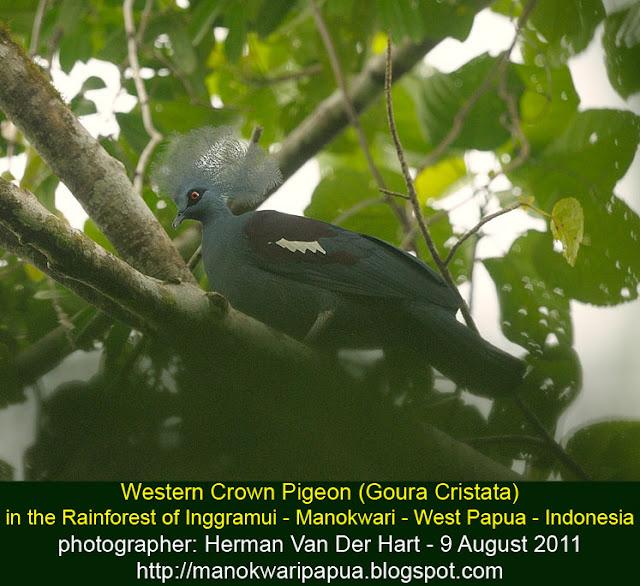 Western-crowned Pigeon in Manokwari forest
