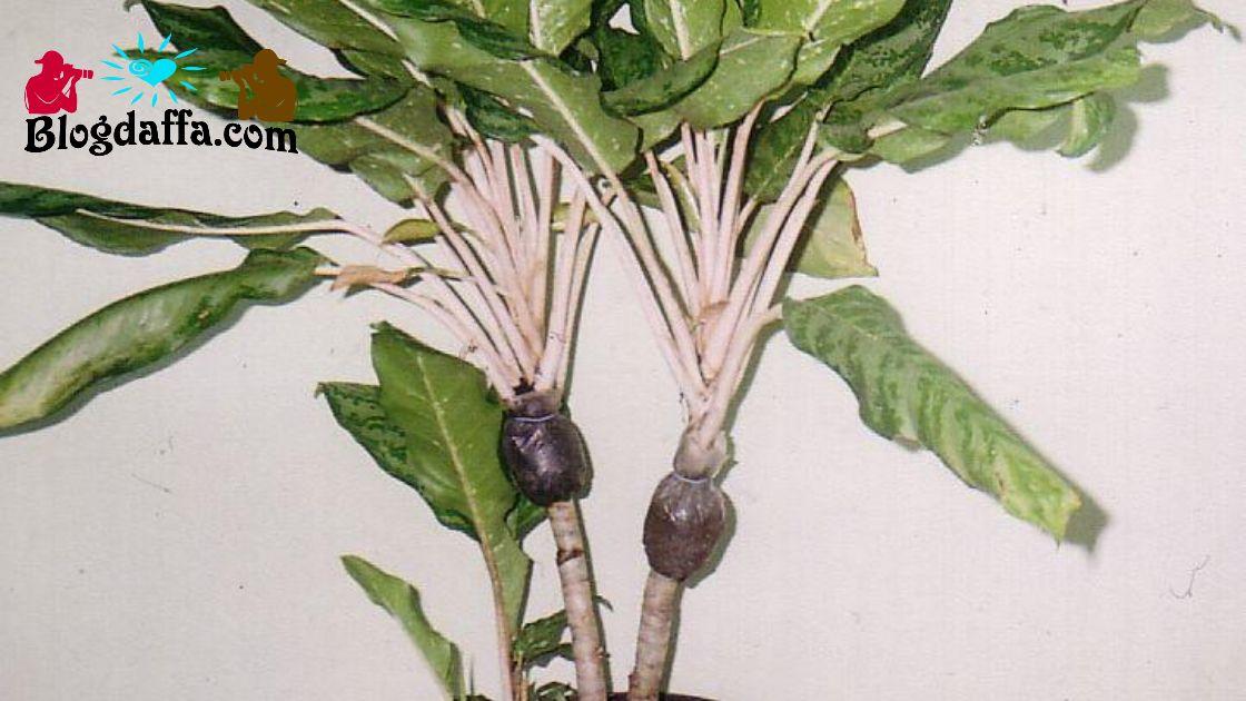 Cara cangkok aglonema