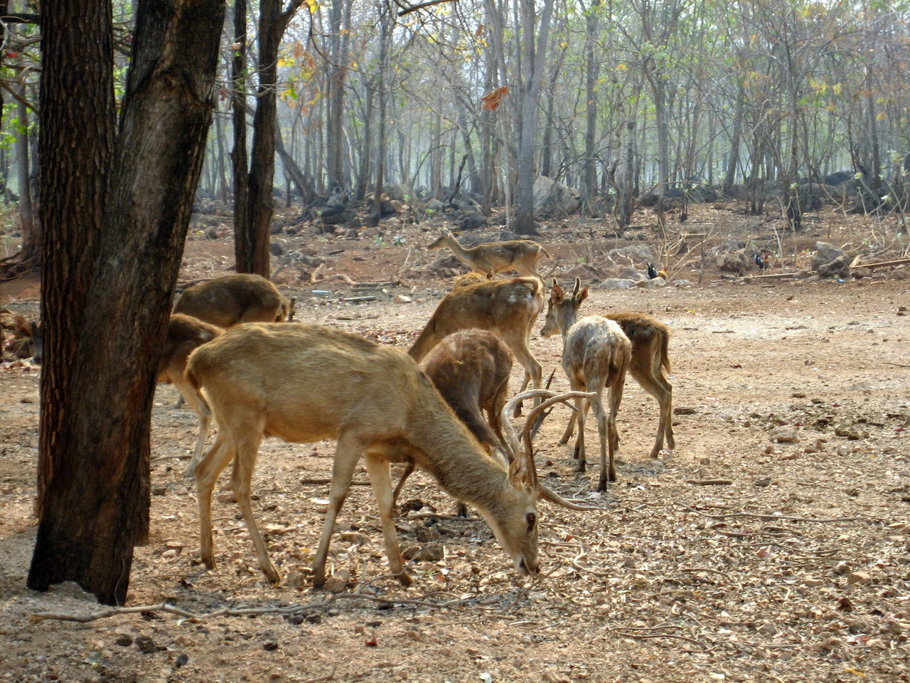 Deers roaming freely in Tiger Temple