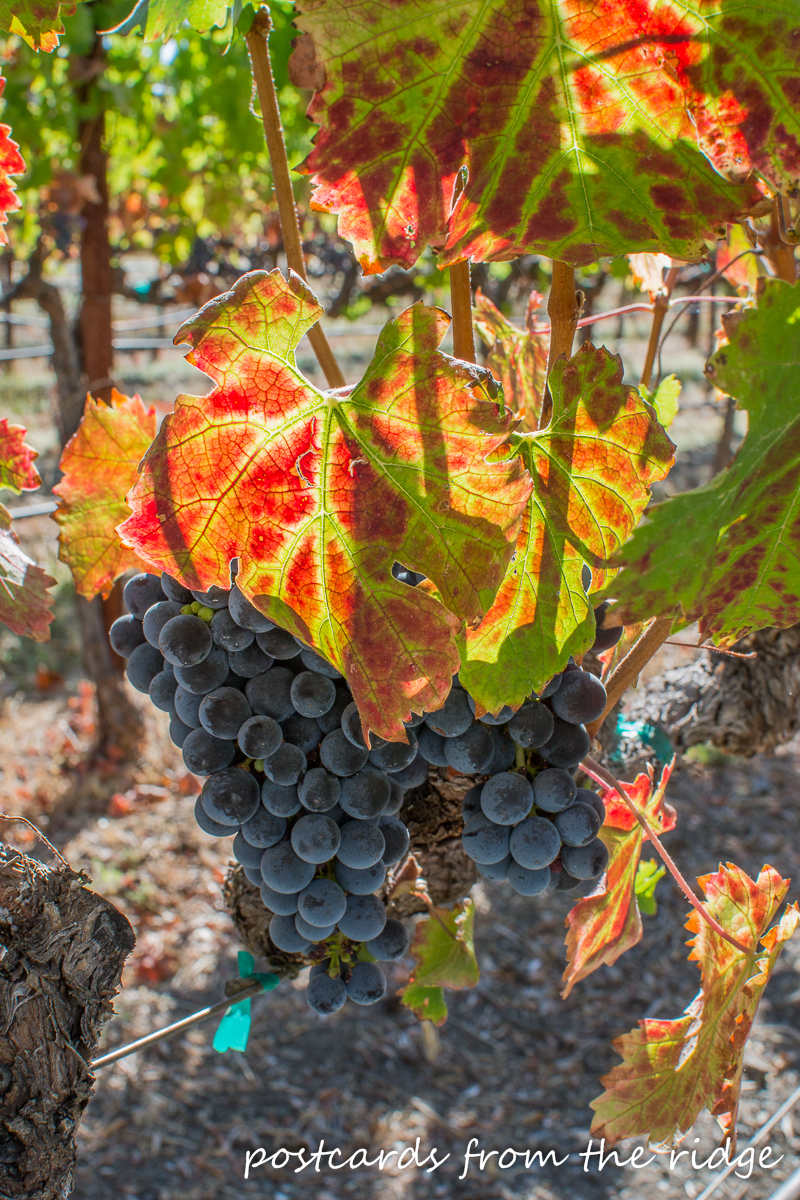 So gorgeous! Cabnernet grapes, Napa County, California