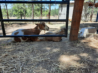 Goats Chilling in The Heat
