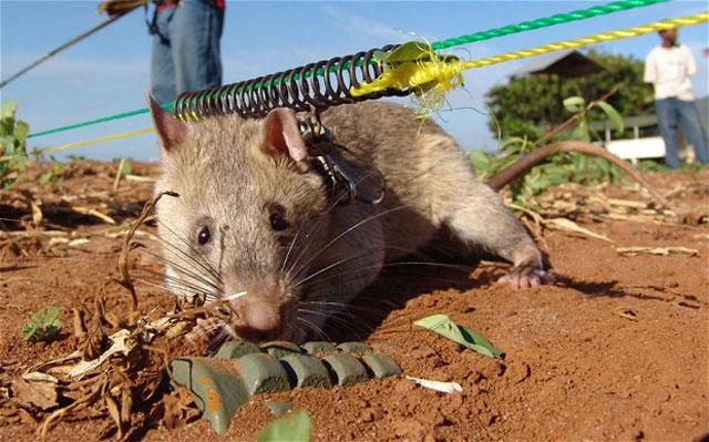boom tikus