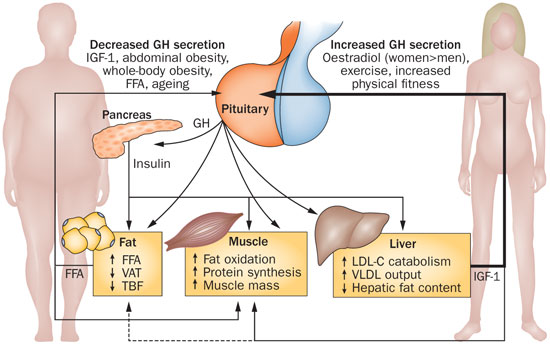 igf1-et-metabolisme