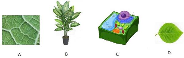 Observe as ilustrações abaixo que representam partes de uma planta e correlacione as letras de cada imagem com seu nível de organização (célula, tecido, etc).