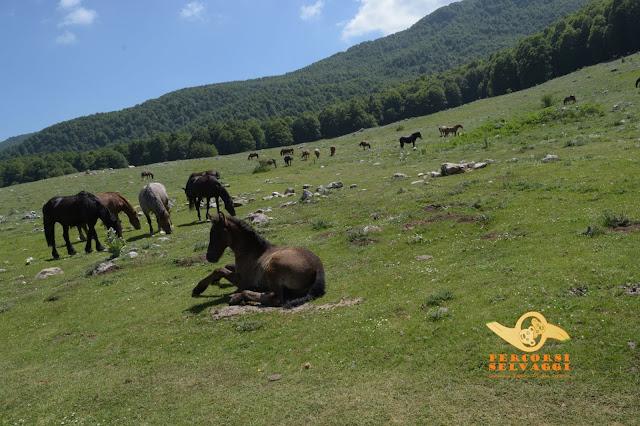 cavalli campo rotondo