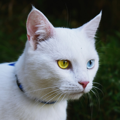 white cat with complete heterochromia causing one yellow iris and one blue iris