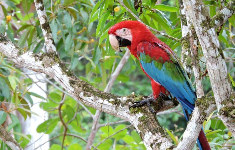 Ave da Amazónia