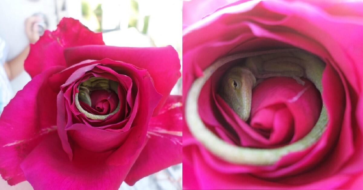 Stunning Pictures Depict A Lizard That Fell Asleep Inside A Rose