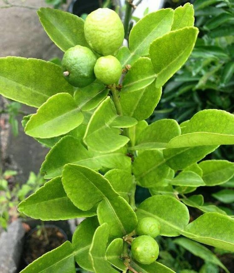 Bibit tanaman buah jeruk purut okulasi cepat berbuah Jawa Timur
