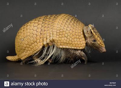 Armadillo de tres bandas (Tolypeutes tricinctus)