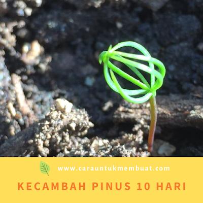Kecambah Pinus 10 Hari