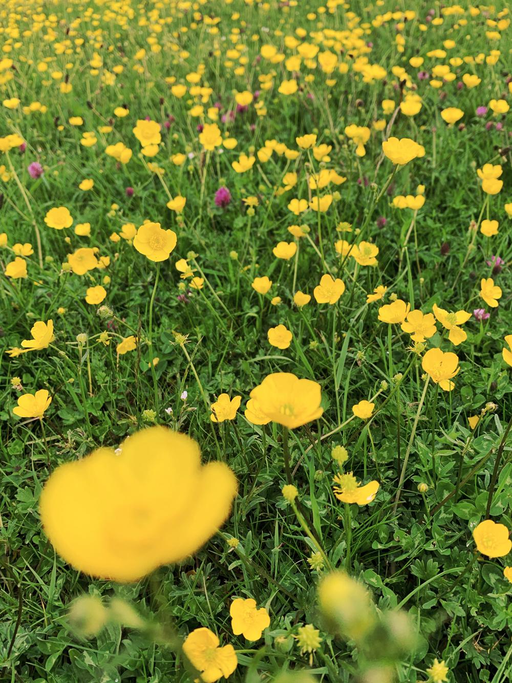 Buttercups on the Bath Skyline Walk - Emma Louise Layla, UK travel & lifestyle blog