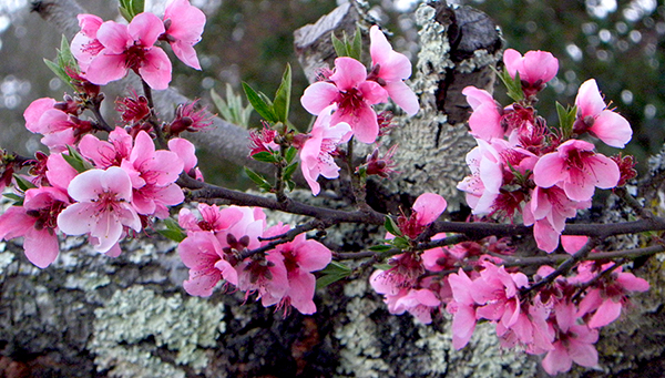 Pink Plum Blossoms on Mossy Tree