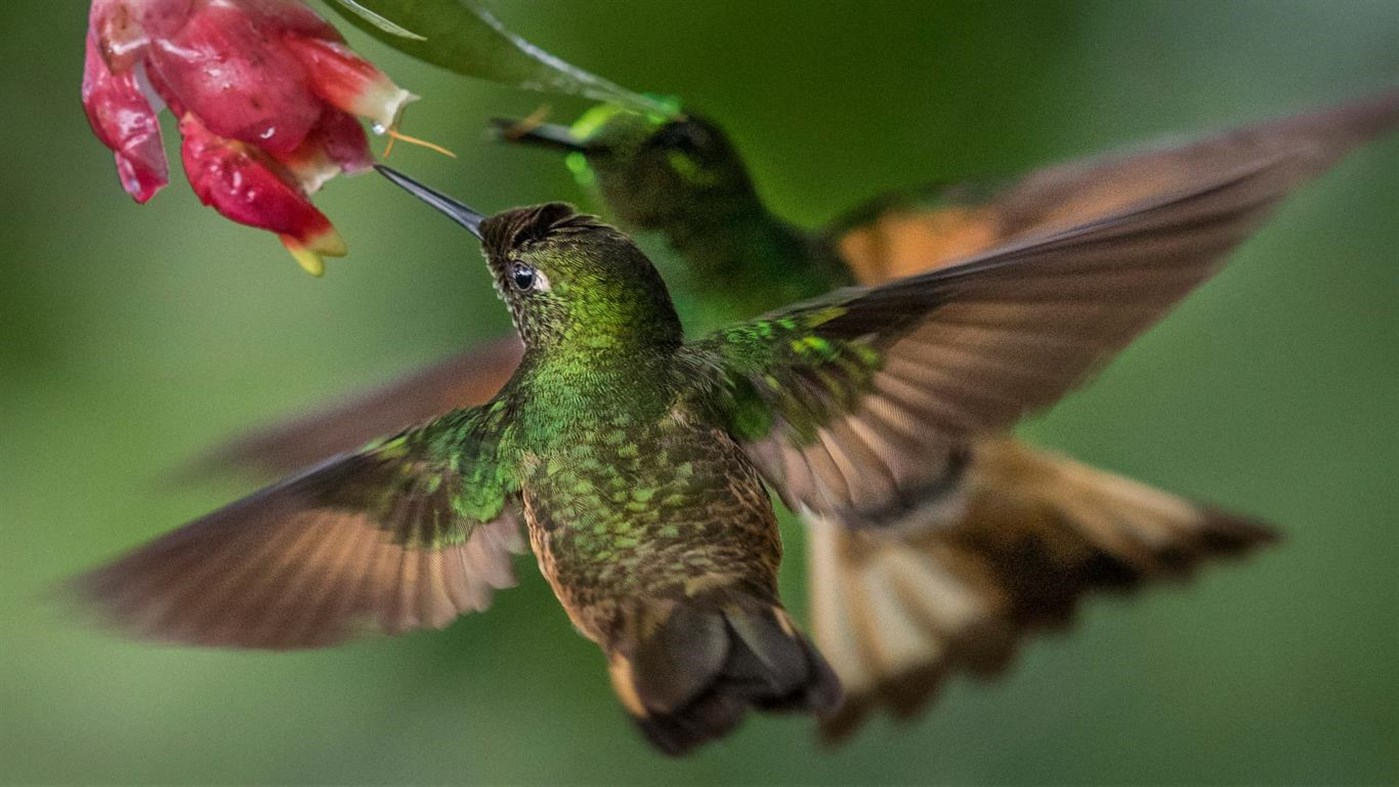 National Geographic Hummingbirds PREMIUM, Tema per Windows 10