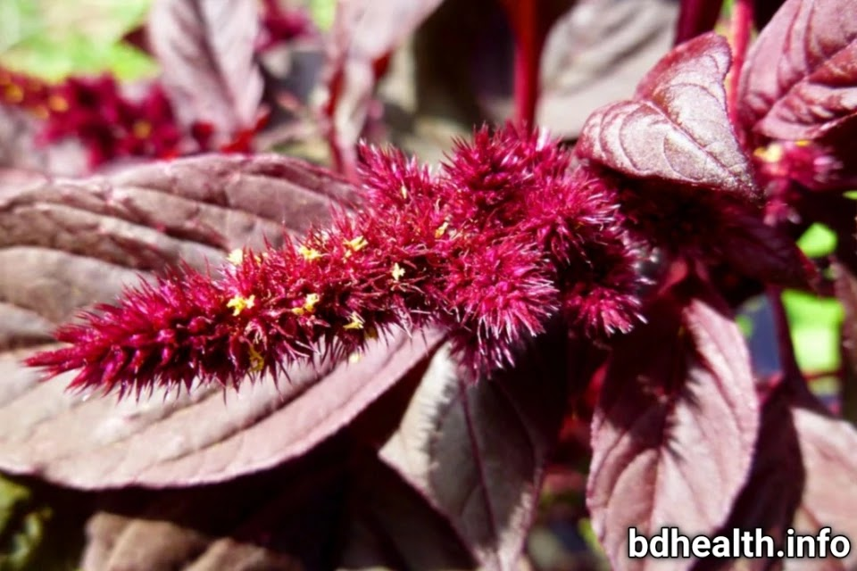 7 Proven health benefit of Red herbs  vegetable