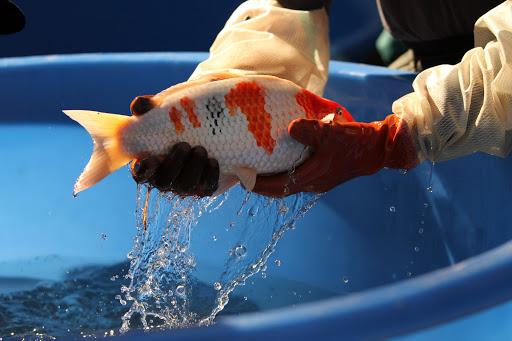 Cara Perawatan Ikan Koi yang Terkena Penyakit