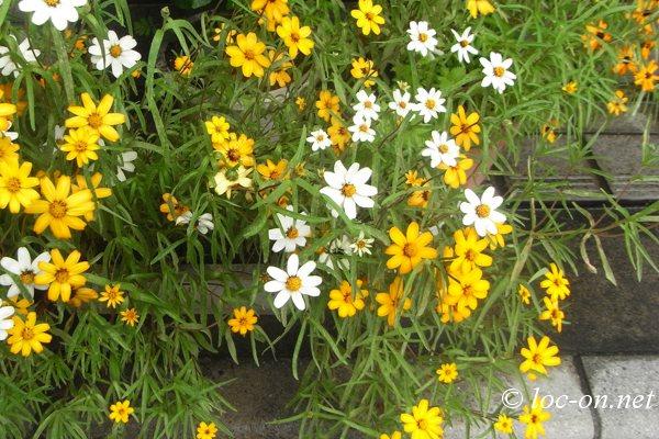 今月のお弁当と近所の花写真,kyara Bento and flower photos of the neighborhood, 本月的卡通盒饭和邻居们的养花照片