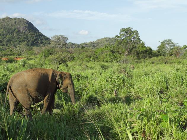 An elephant portrait from Minneriya National Park, Srilanka
