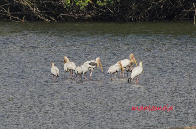 Milky Storks, Painted Storks