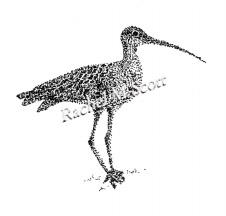 Curlew stipple illustration by Rachel M Scott