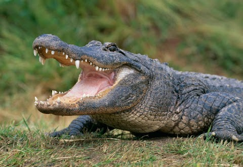 Lelőtték Bismarckot, Ausztrália kedvenc krokodilját