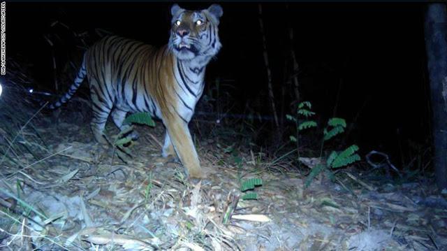 Hổ tự nhiên chụp bằng bẫy ảnh- 02