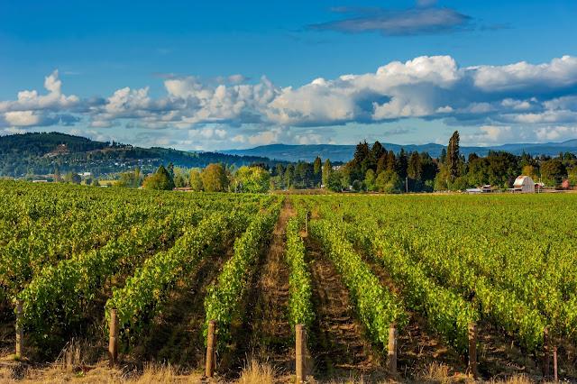 Montinore Italian grapes in Oregon