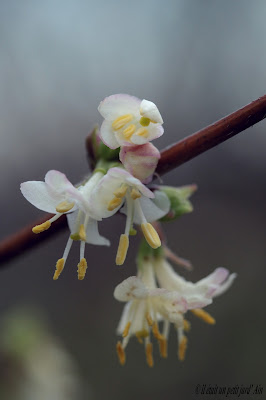 lonicera fragantissima fleurs d'hiver parfumées