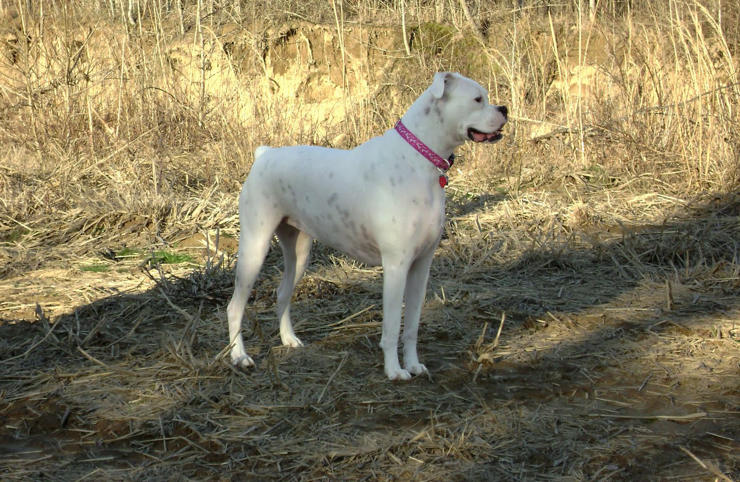 Batista Hd Wallpapers 2014 White Boxer Dog Hd Wallpapers Pictures 2013 All About Hd