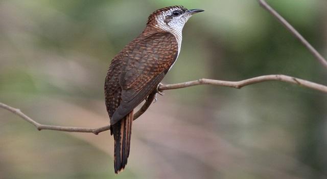 Mitos burung kedasih