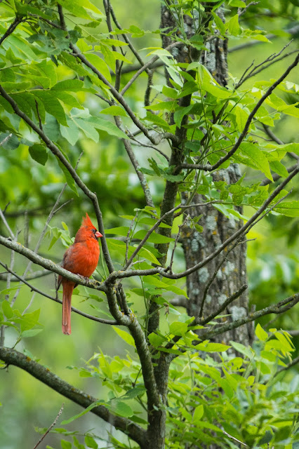 Northern Cardinal, Clear Creek Natural Heritage Center