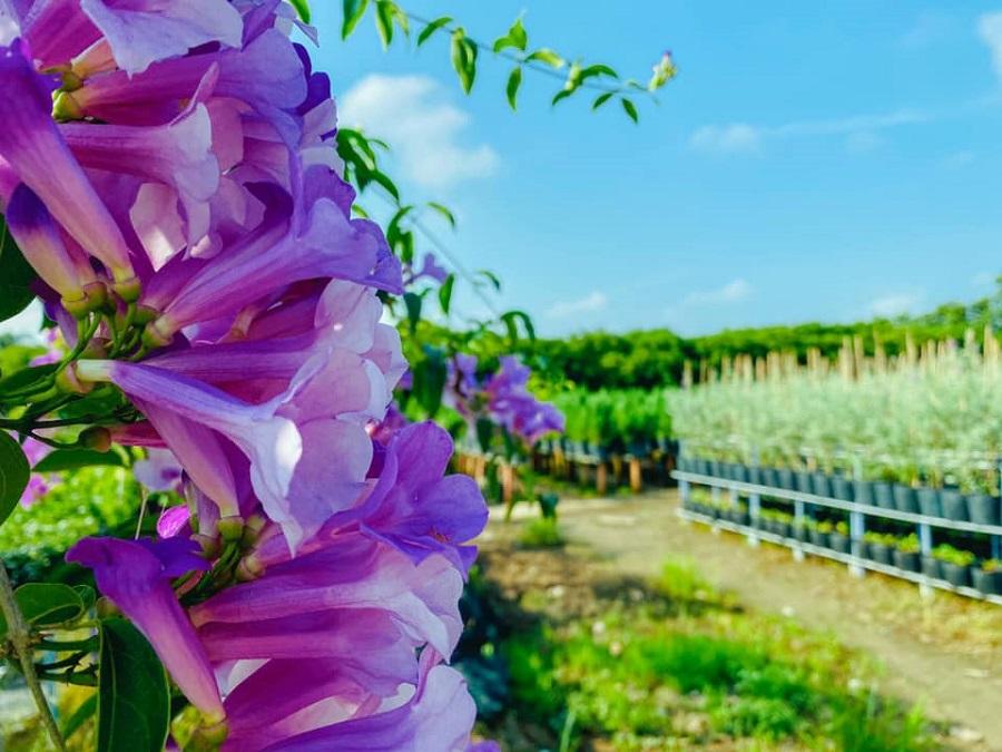 Vườn hoa Lan Tỏi Tím tại Làng Hoa Sa Đéc 2