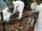 Penyakit Flu Burung Merupakan Ancaman Petrnak
