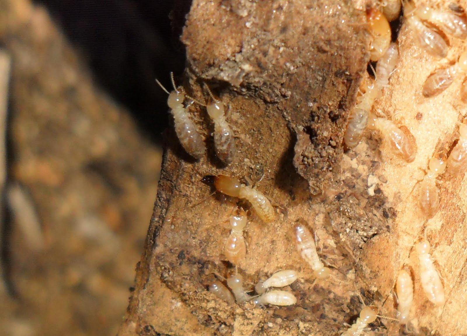 Hormigas Amarillas: Crematogaster scutellaris vs Reticulitermes sp.
