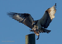 Osprey landing with fish, Grand Tracadie, PEI, Canada - by Matt Beardsley, Aug. 2016