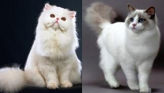 10 Perbedaan Kucing Anggora dan Persia yang Perlu Anda Ketahui