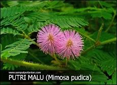 PESTISIDA NABATI dari bahan Rumput Putri Malu (Mimosa pudica)