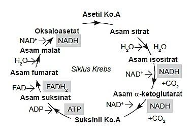 Skema Siklus Krebs