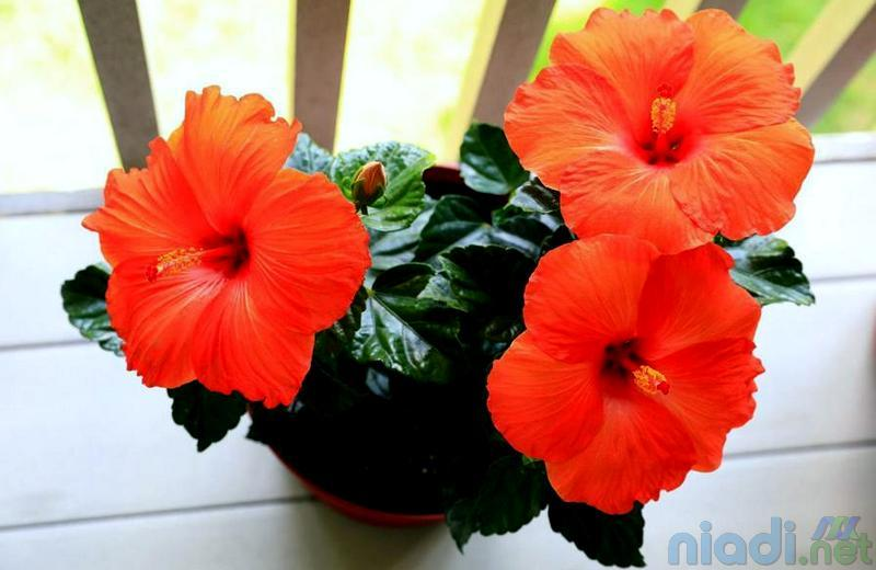 jenis tanaman hias bunga kembang sepatu dan penjelasannya