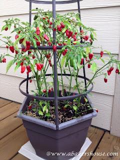 fresno pepper plant