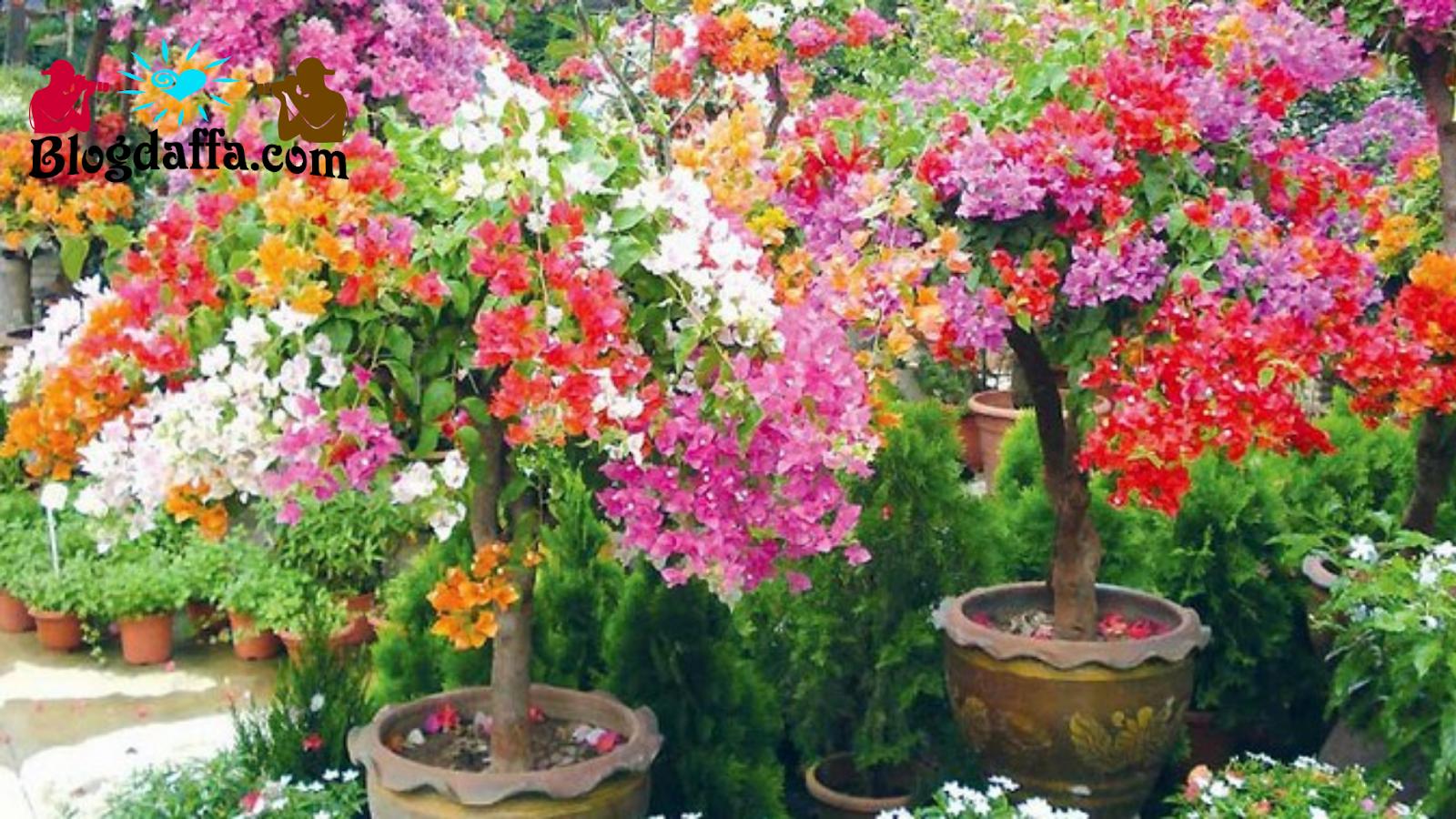 Cara Menanam Bunga Kertas dengan Sambung Pucuk