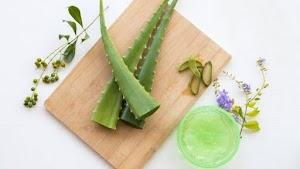 Segudang Manfaat Aloe Vera Bagi Kesehatan Dan Kecantikan