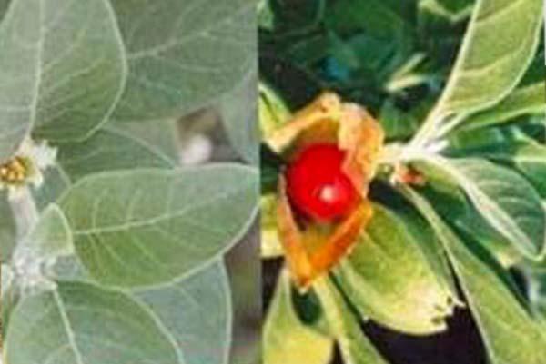 فوائد وموانع عشبة اشواغاندا