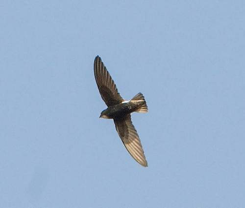 Birds of India - Picture of House swift - Apus nipalensis